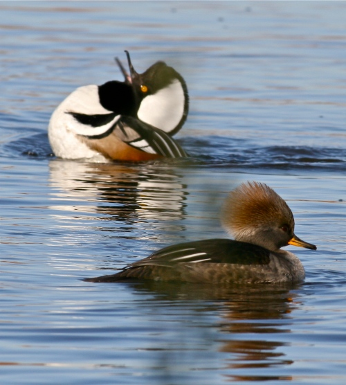 Hooded Mergansers, New Mexico bird photography, Rio Grande Nature Center, Albuquerque New Mexico birds
