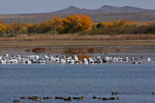 Snow Geese and Northern Pintails, Bosque del Apache National Wildlife Refuge.