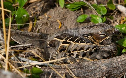 Common Pauraque, Estero Llano Grande State Park, Weslaco, Texas