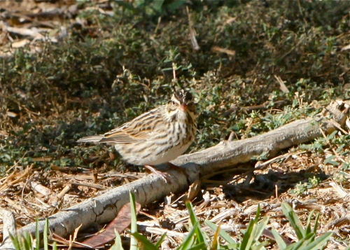 Savannah Sparrow, SPI Convention Center