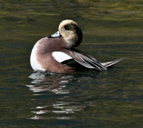 American Wigeon, Turtle Bay, New Mexico Tech, Socorro, New Mexico