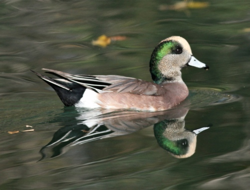 American Wigeon male, Turtle Bay, New Mexico Tech, Socorro, New Mexico