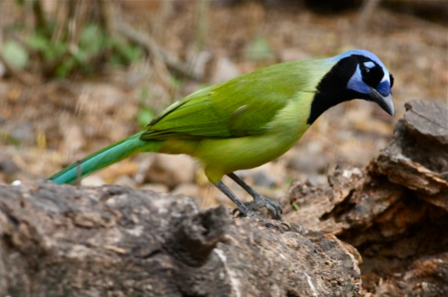 Green Jay, Laguna Atascosa National Wildlife Refuge