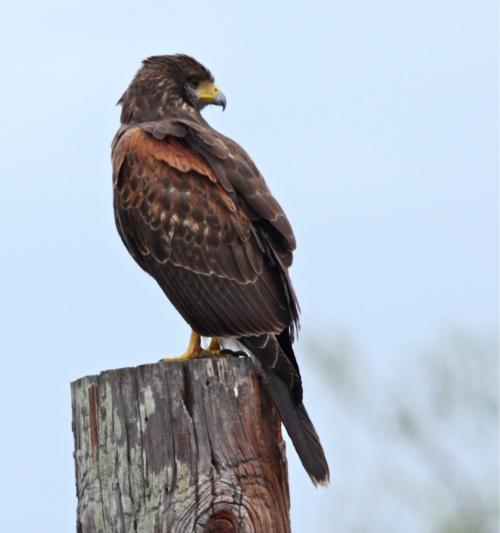 Harris Hawk, Laguna Atascosa NWR, Texas.