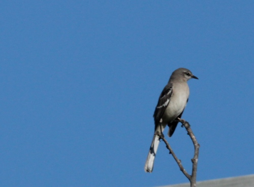 Northern Mockingbird, Valley Land Fund Migratory Bird Sanctuary