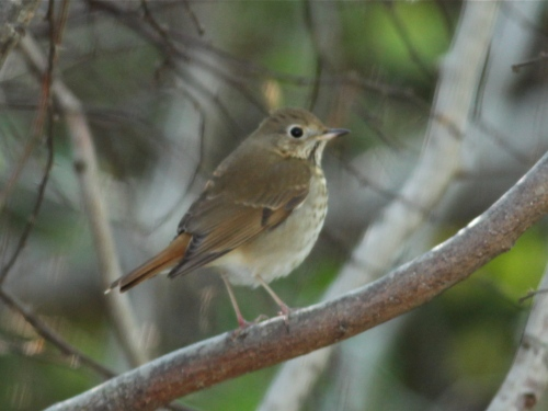 Hermit Thrush, Valley Land Fund Migratory Bird Sanctuary