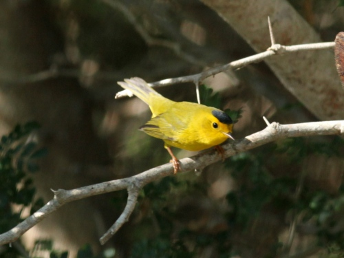 Wilson's Warbler, SPI Convention Center