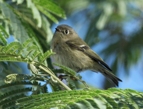 Ruby-crowned Kinglet, SPI Convention Center