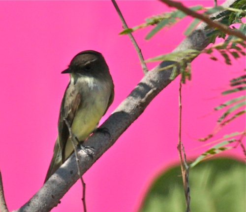 Eastern Phoebe, SPI Convention Center