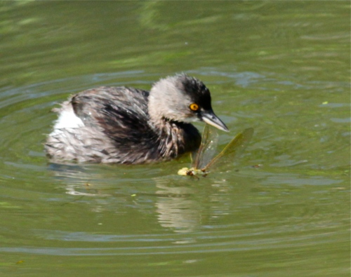 Least Grebe, Sabal Palm Audubon Sanctuary, Texas.