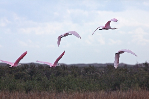 Roseate Spoonbills, Laguna Madre Bay, South Padre Island, Texas.