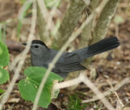 Gray Catbird hiding in the understory, SPI Convention Center.