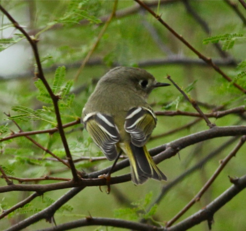 Ruby-crowned Kinglet, another view, SPI Convention Center