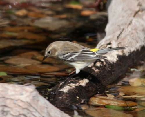 Yellow-rumped Warbler, Valley Land Fund Migratory Bird Sanctuary