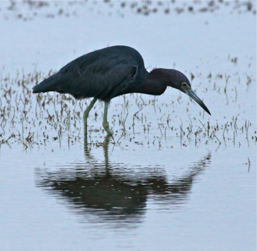 Little Blue Heron, Laguna Madre Bay, Port Isabel, Texas,