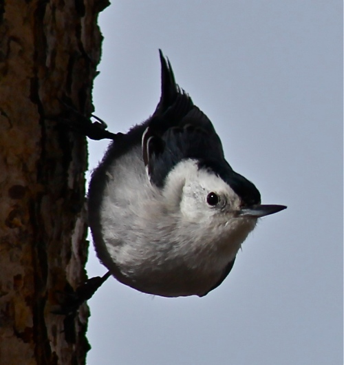White-breasted Nuthatch, Sandia Crest, New Mexico.