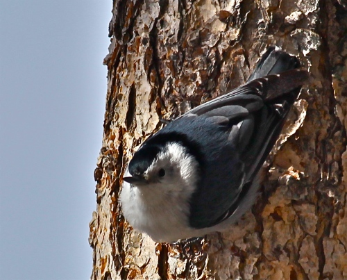 White-breasted Nuthatch, Sandia Crest New Mexico
