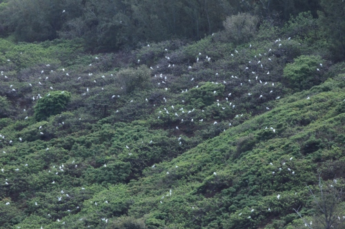 Red-footed Boobies, Kilauea National Wildlife Refuge