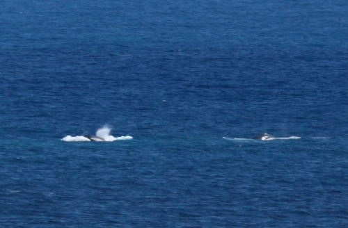 Migrating Humpback Whale, Kilauea Point National Wildlife Refuge