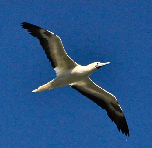 Red-footed Booby, Kilauea National Wildlife Refuge