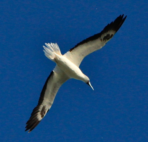 Red-footed Booby, Kilauea Point National Wildlife Refuge
