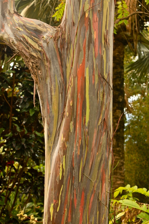 Mindinao Gum Tree, McBryde National Tropical Botanical Garden