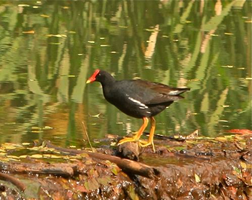 Hawaiian Moorhen, McBryde National Tropical Botanical Garden