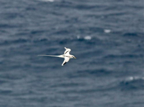 White-tailed Tropicbird, Kilauea Point National Wildlife Refuge