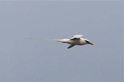 Red-tailed Tropicbird, Kilauea Point National Wildlife Refuge