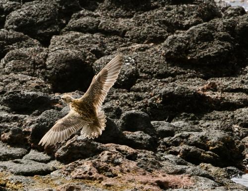 Pacific Golden-Plover, Koloa, Kauai