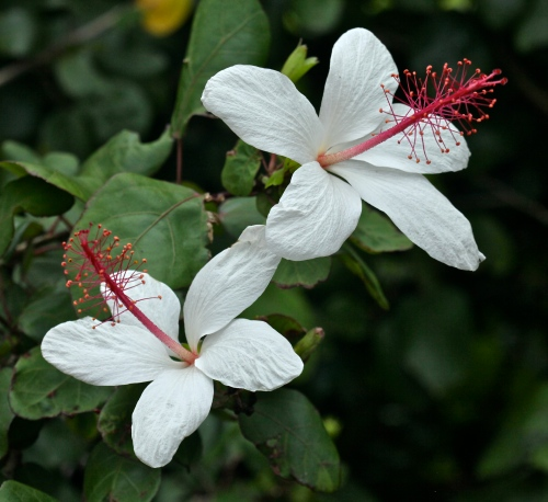 Hibiscus, McBryde National Tropical Botanical Garden