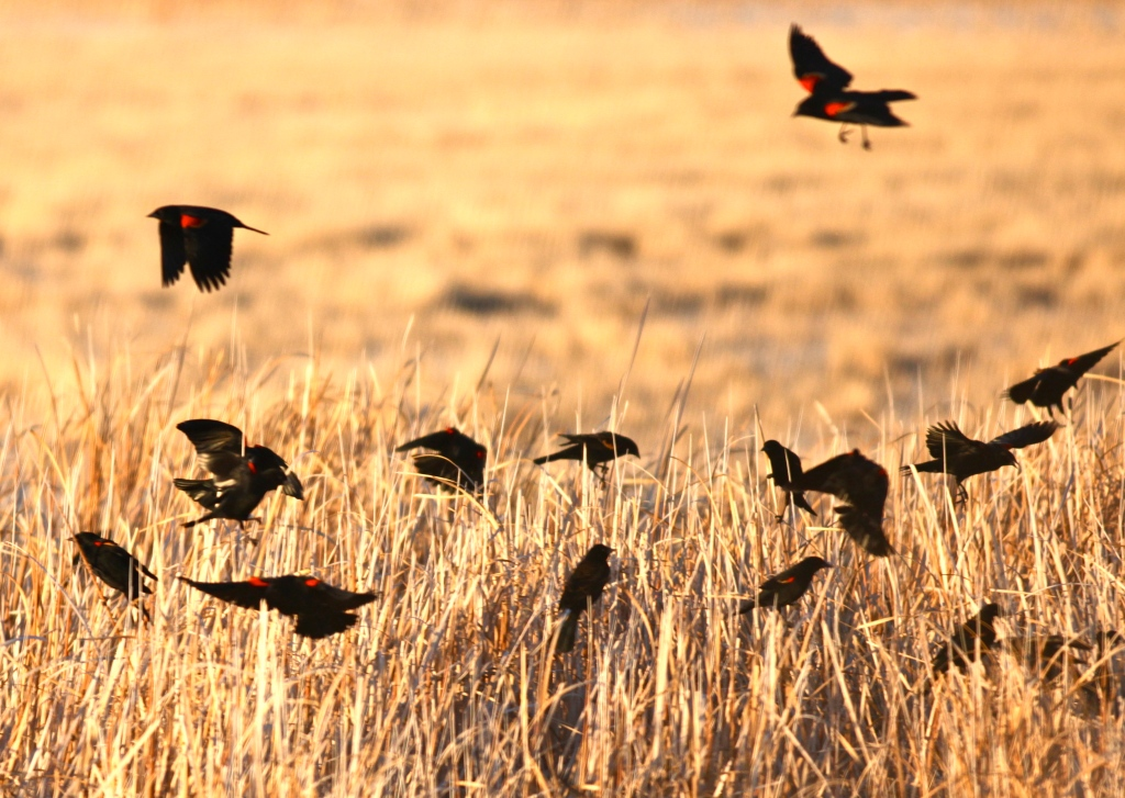 Red-winged Blackbirds, Bitter Lake National Wildlife Refuge,