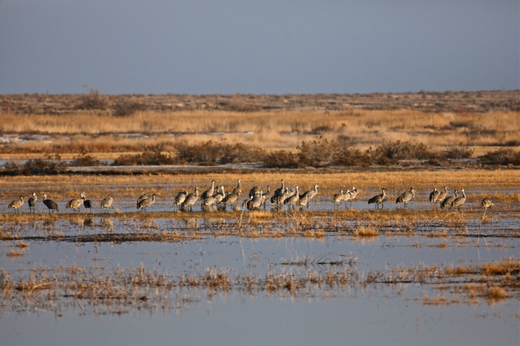 Sandhill Cranes, Bitter Lake National Wildlife Refuge, New Mexico