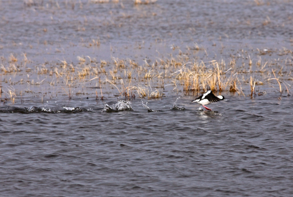 Bufflehead, Bitter Lake National Wildlife Refuge