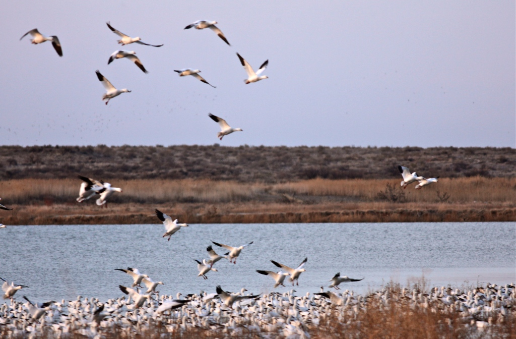 Snow Geese fly-in, Bitter Lake National Wildlife Refuge