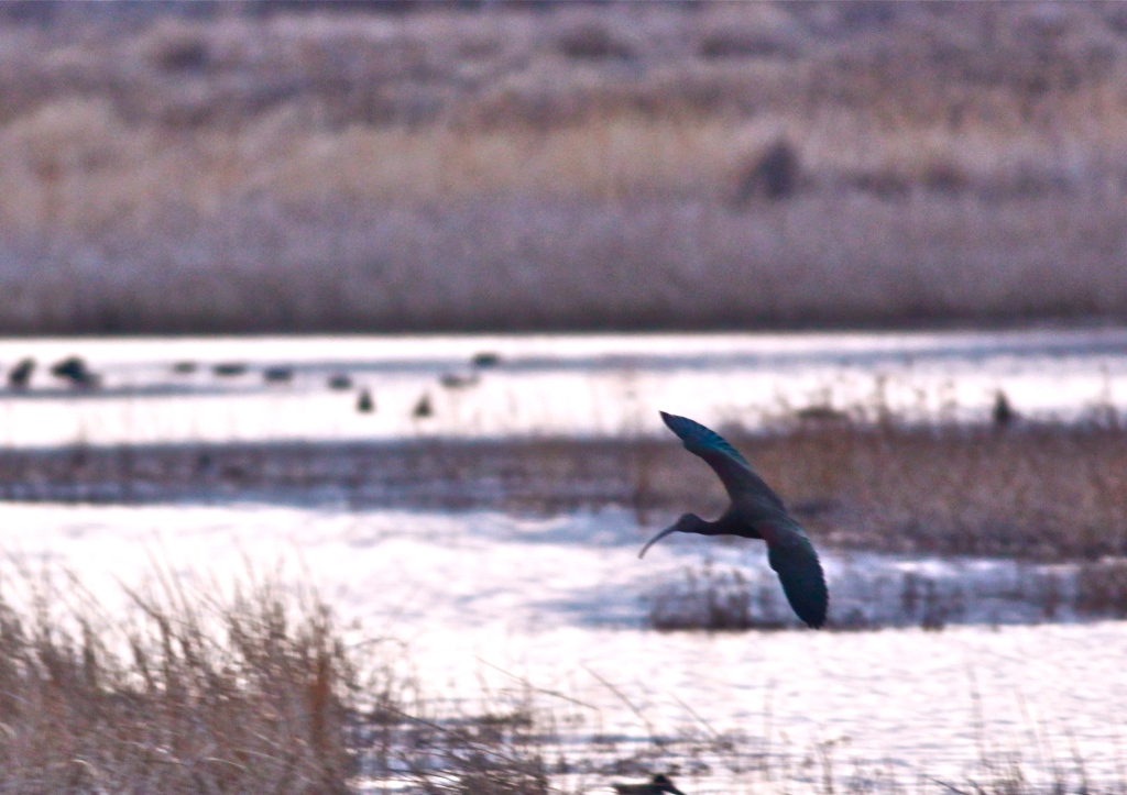 White-faced Ibis, Bitter Lake National Wildlife Refuge
