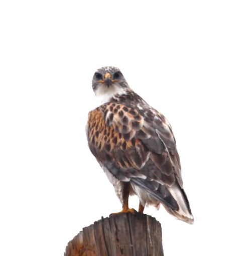 Ferruginous Hawk, Capitan, New Mexico