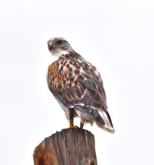 Ferruginous Hawk, Capitan, New Mexico.