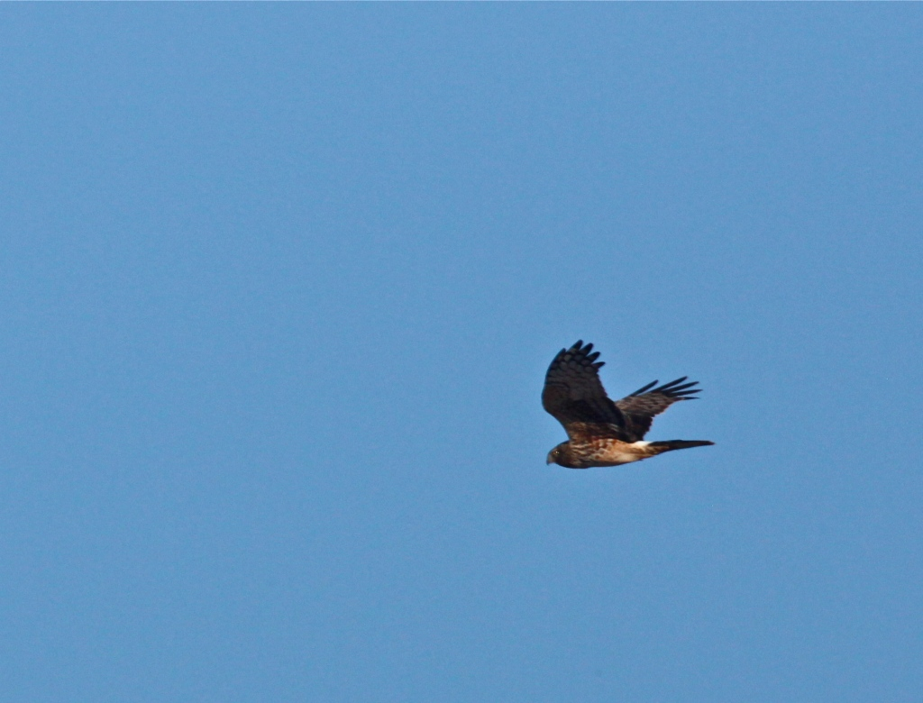 Northern Harrier, Bitter Lake National Wildlife Refuge