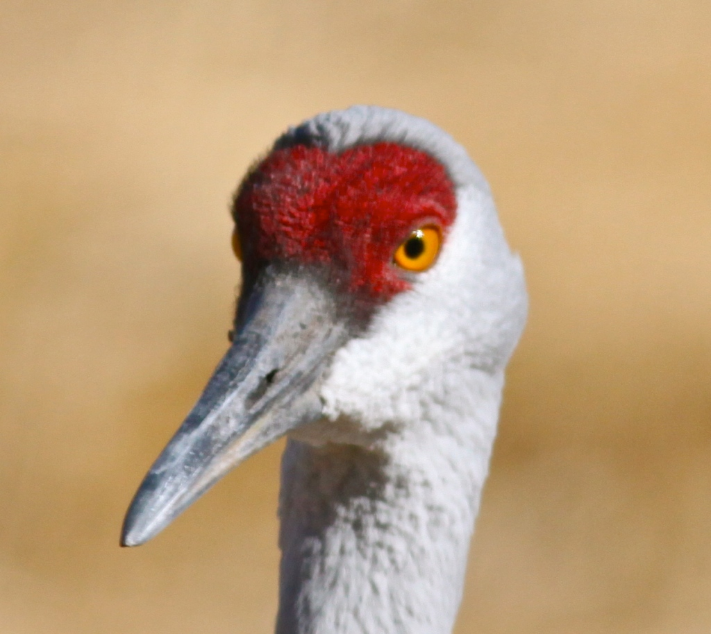 Sandhill Crane portrait, Rio Grande Nature Center