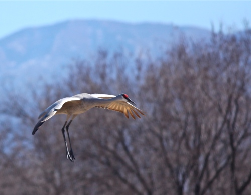 Sandhill Crane, Rio Grande Nature Center