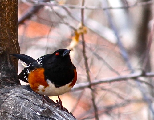 Spotted Towhee, Rio Grande Nature Center