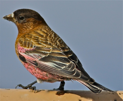 Brown-capped Rosy-Finch, Sandia Crest, New Mexico