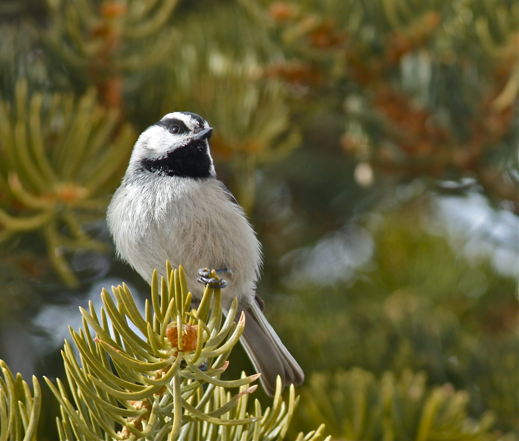 Mountain Chickadee, Sandia Crest