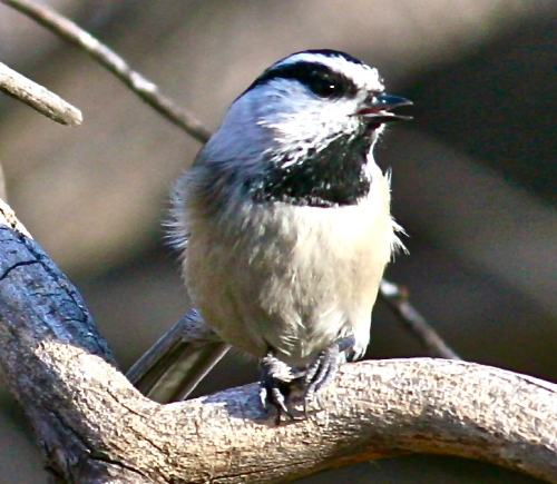 Mountain Chickadee, Sandia Crest,
