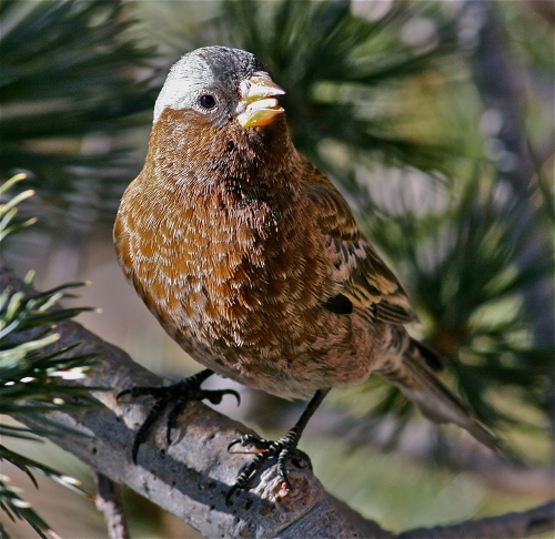 Gray-crowned Rosy-Finch, Sandia Crest, New Mexico