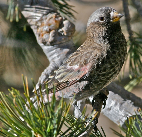 Black Rosy-Finch, Sandia Crest, New Mexico