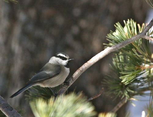 Mountain Chickadee, Sandia Crest, New Mexico