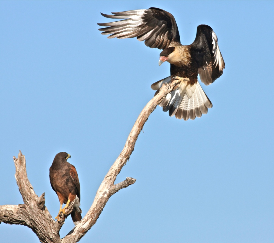 Crested Caracara and Harris Hawk.
