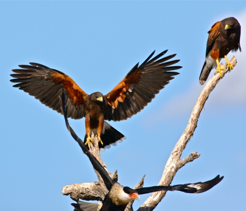 The Harris Hawks were in charge.